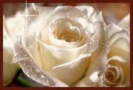 white roses star yes